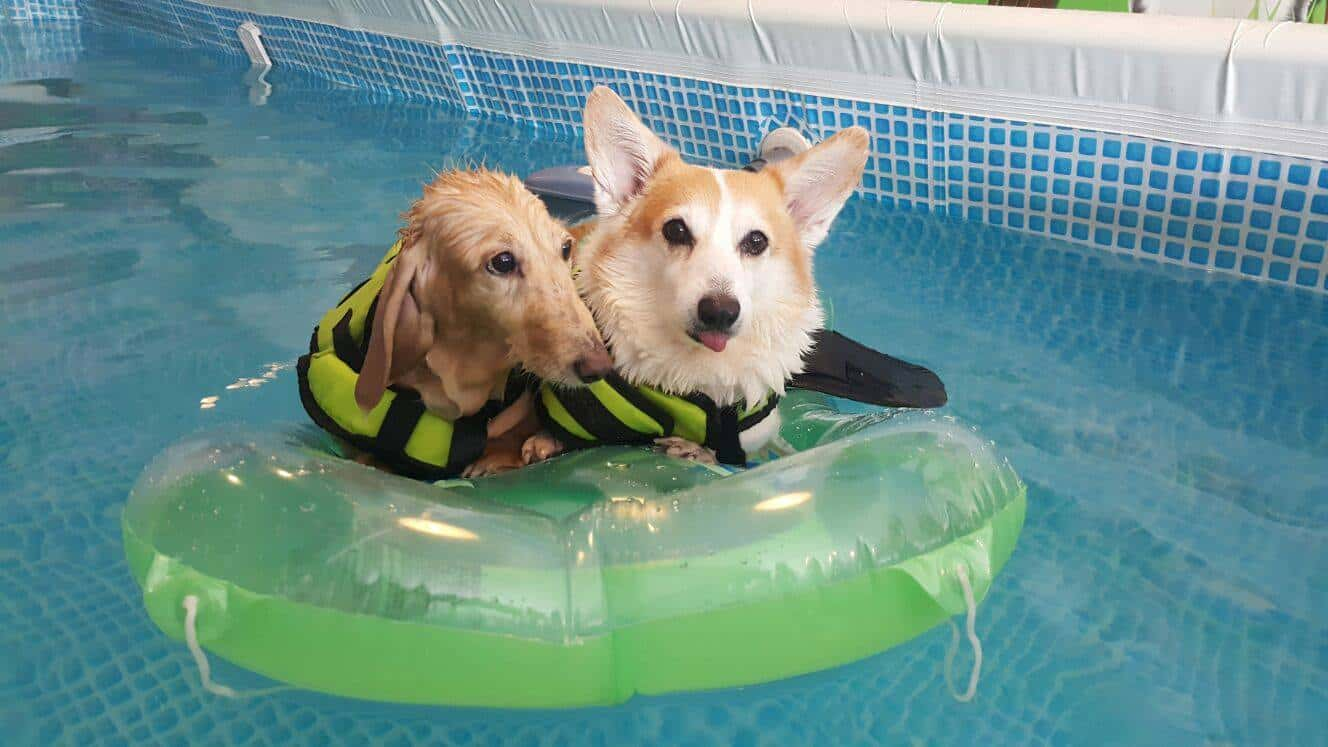Corgi and dachshund sitting in a float in dog swimming pool
