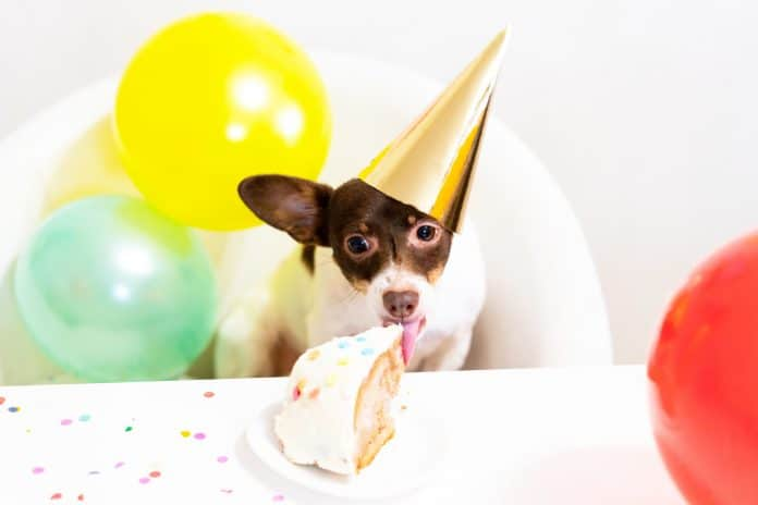 Cute small dog in party hat eating birthday cake