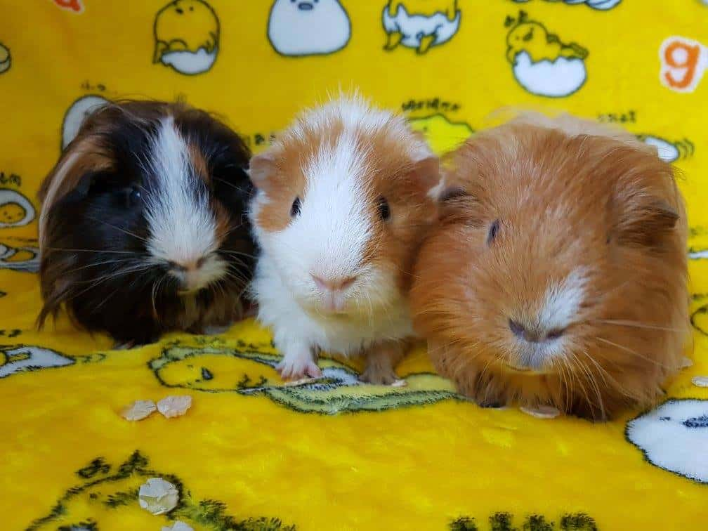 Boarding Centre for Small Pets - WheekyCavies