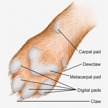Dog Grooming - Anatomy of a Dog's Paw with a Labelled Diagram