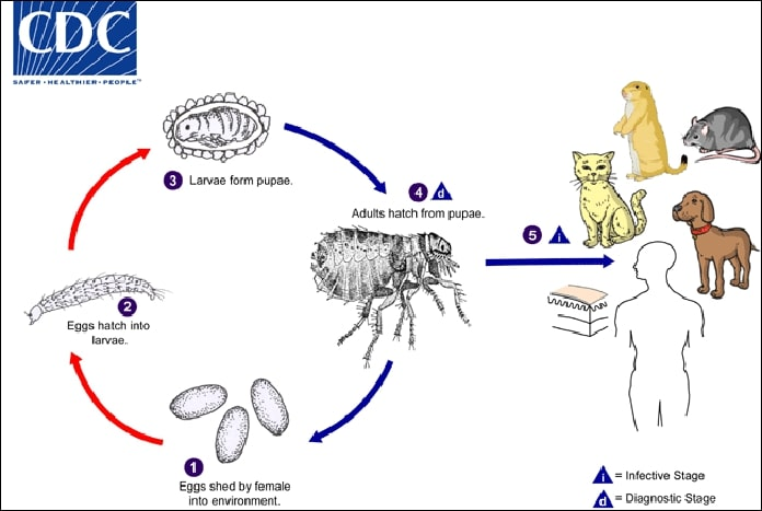 Lifecycle of a Cat Flea