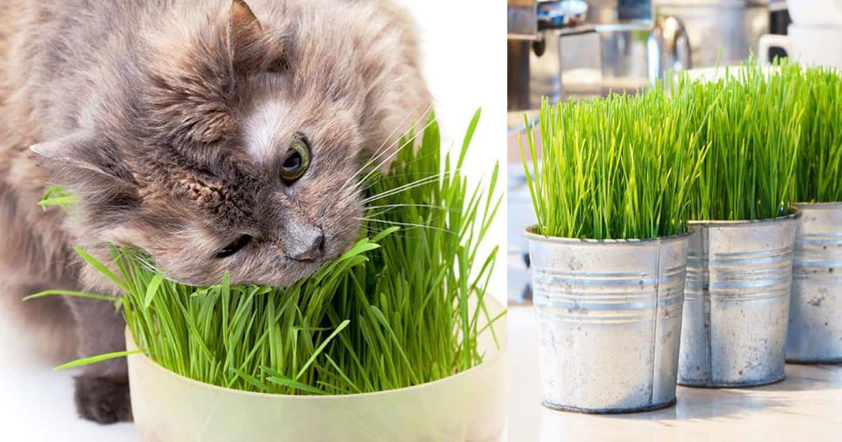 What is Cat Grass? Understand the Ins and Outs of It and Learn How to Grow Your Own