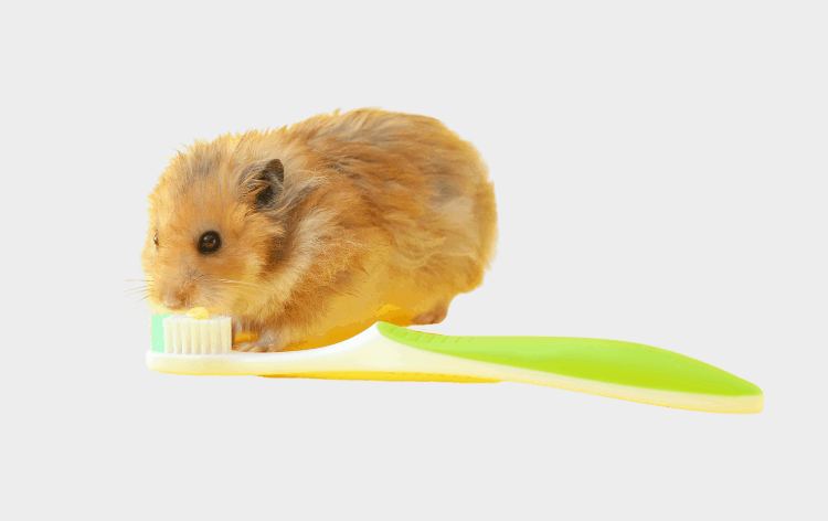 Hamster next to a toothbrush