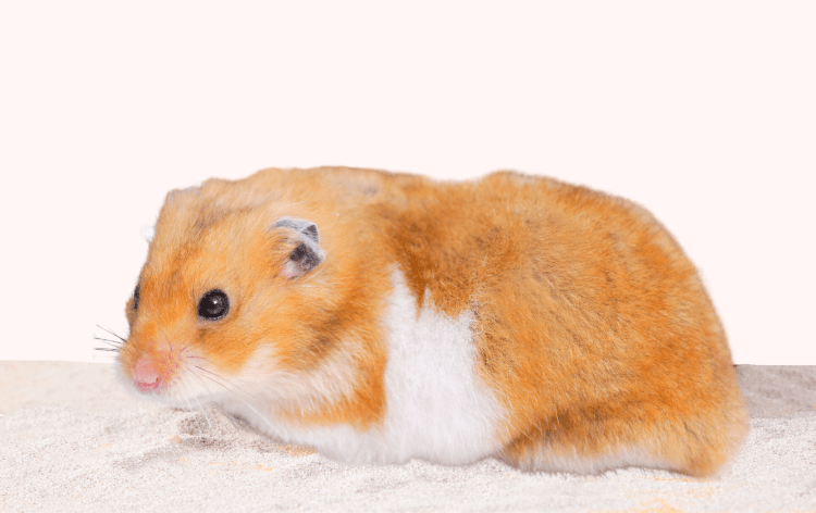 Hamster in a sand bath