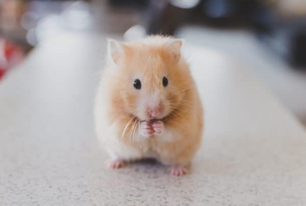 Hamster Adoption In Singapore: 5 Best Platforms To Adopt + Important Hamster Facts