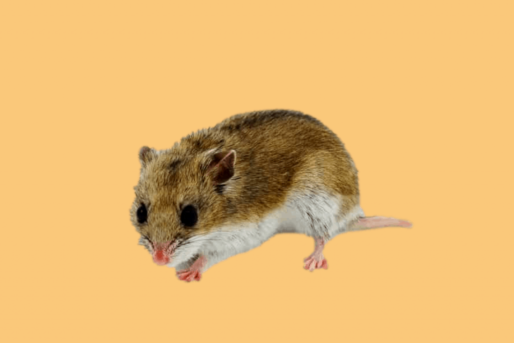 Chinese hamster against yellow background