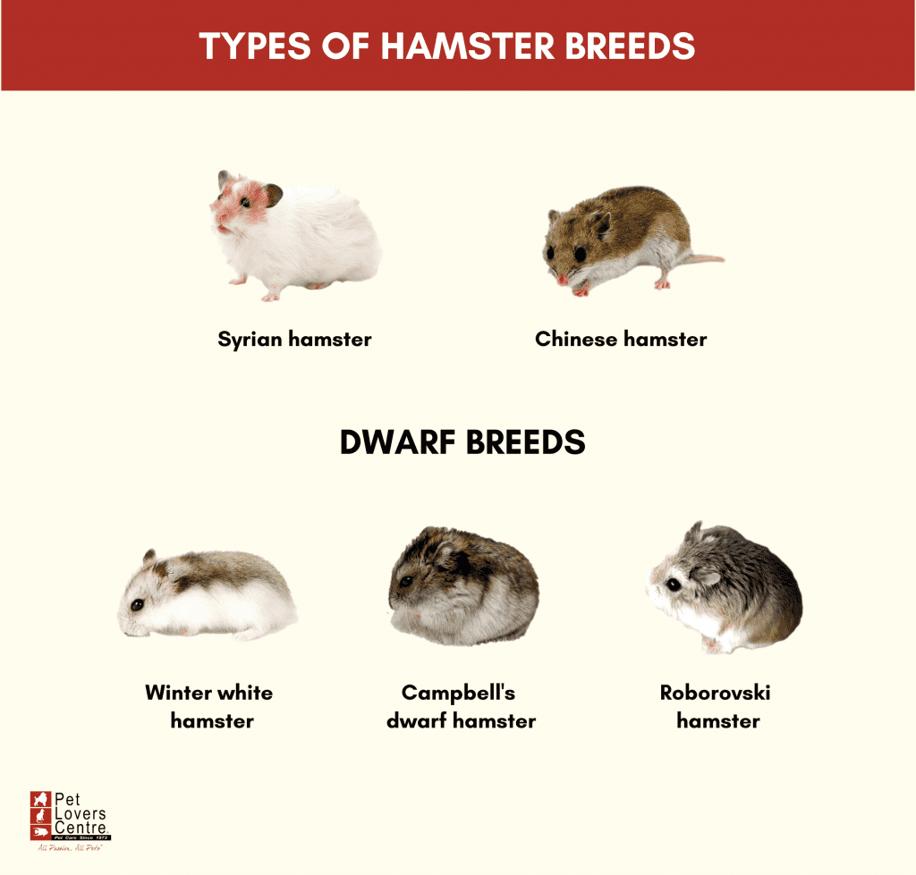 Infographic about hamster breeds