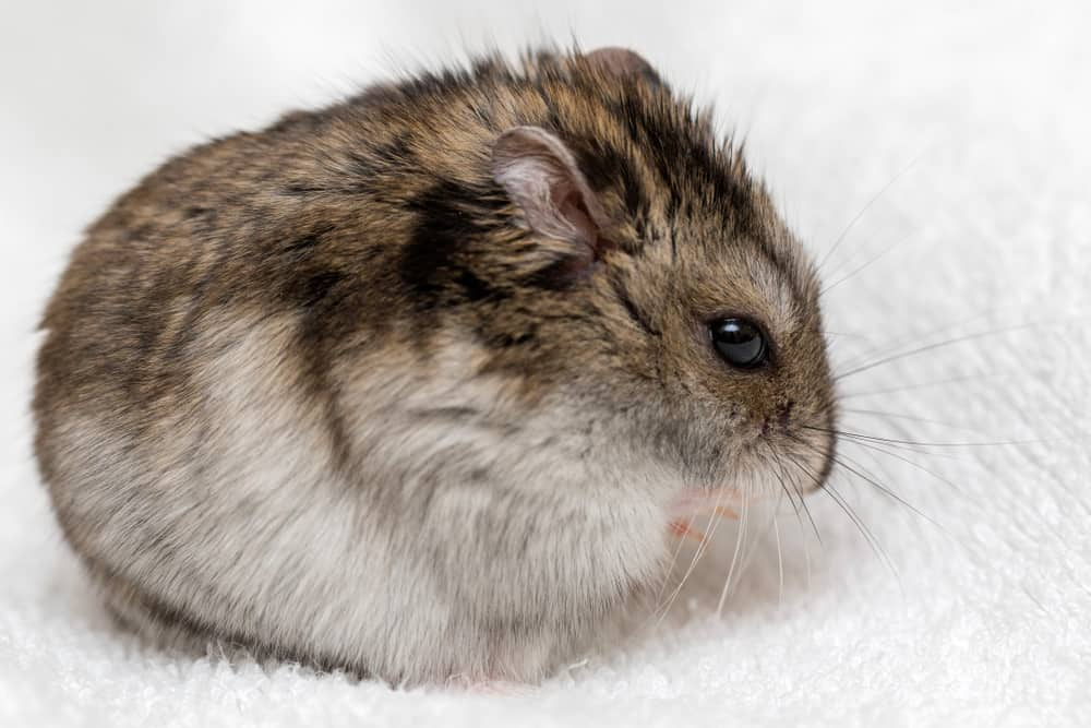 Types of Hamster Breeds: Campbell's Dwarf