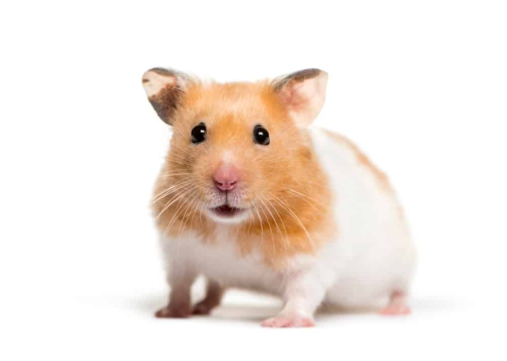 Types of Hamster Breeds: Syrian