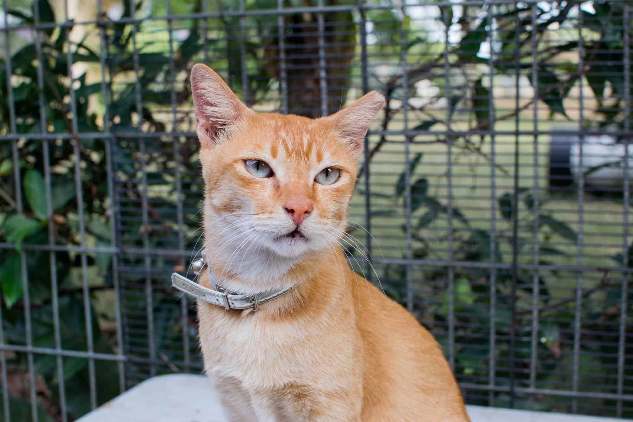 Rescued orange cat with collar in Singapore