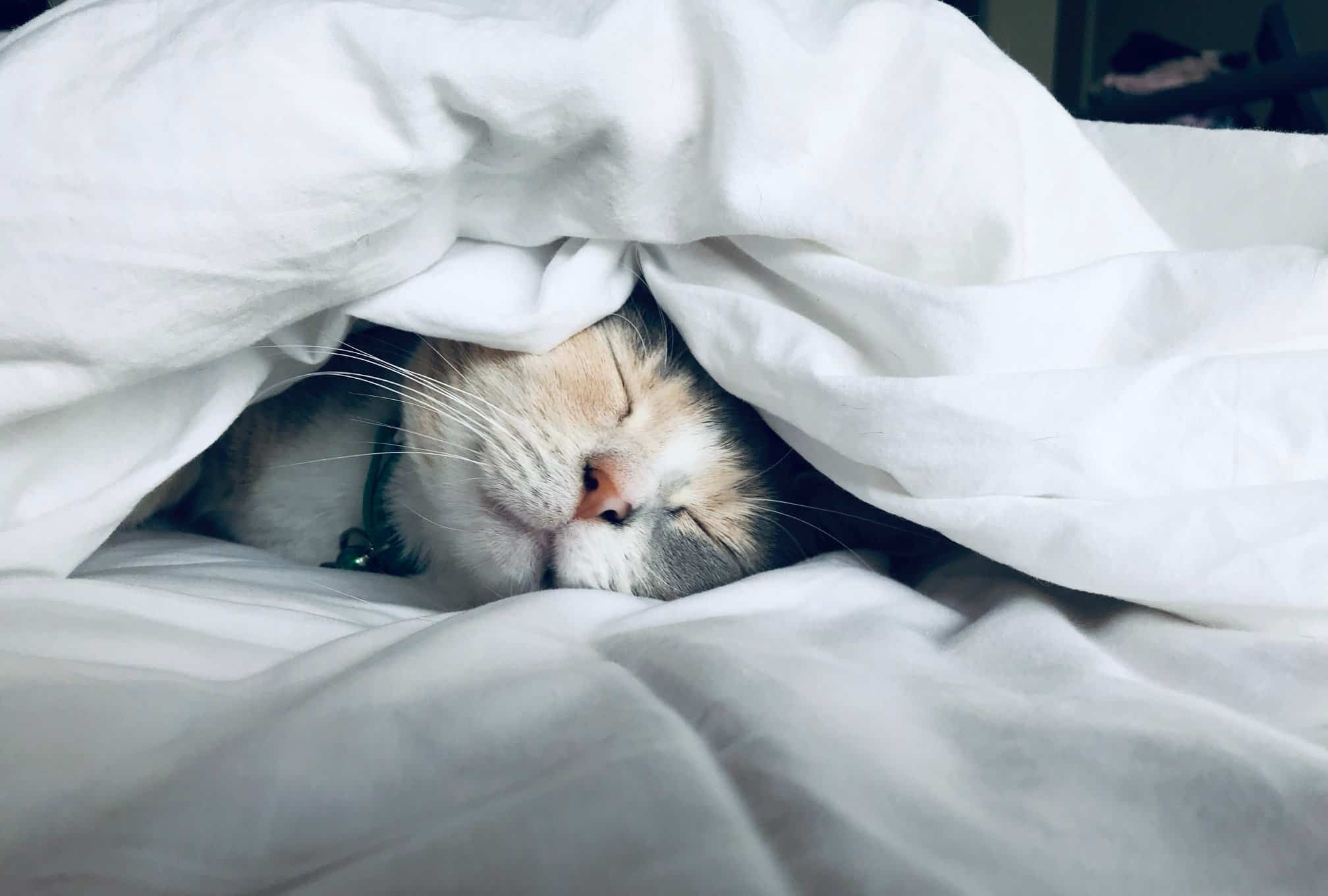 Cat sleeping under white bedsheets