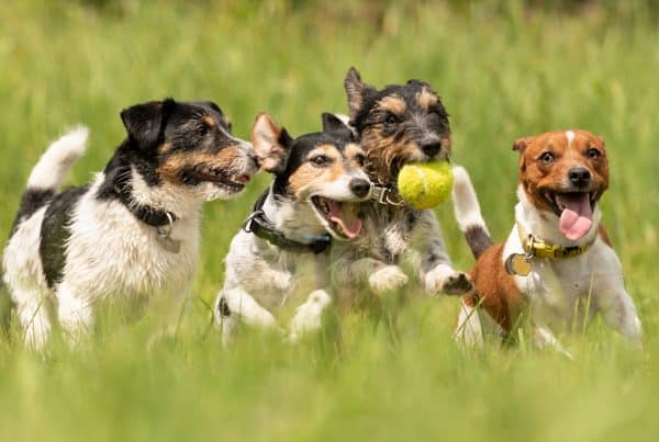 group of dogs chasing a tennis ball in the dog park