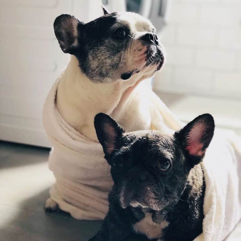 Dogs wrapped in towels after a shower