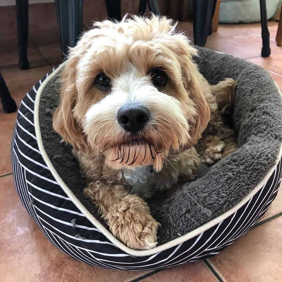 Dog lying in his bed