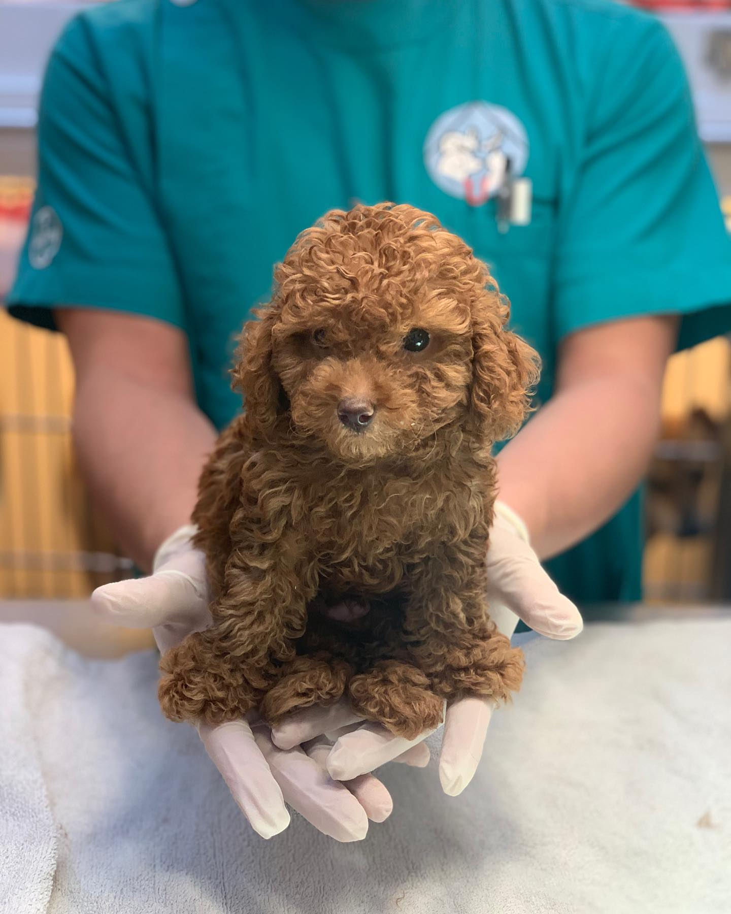 vet holding poodle in his hands