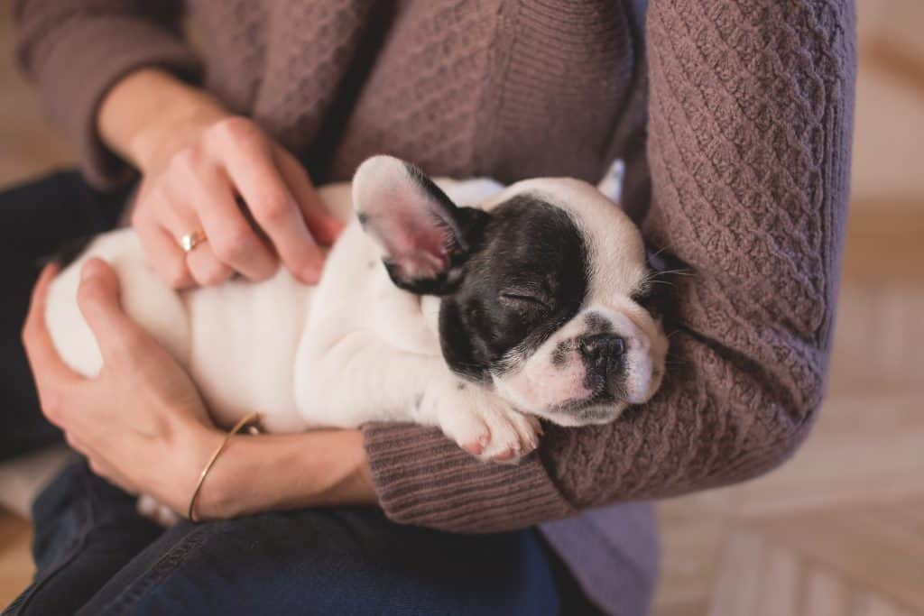 Lady wearing brown knit sweater carrying sleeping bulldog in arm