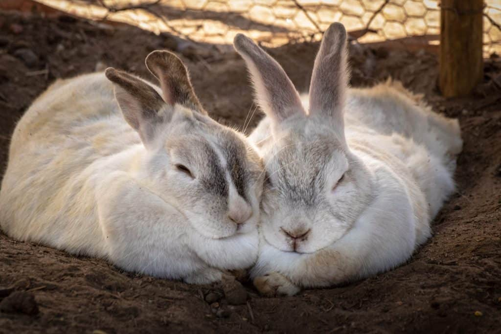 2 rabbits snuggling together