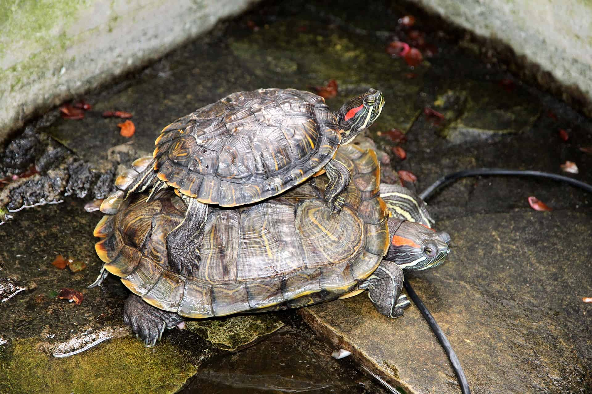 Small terrapin sitting on larger terrapin in pond