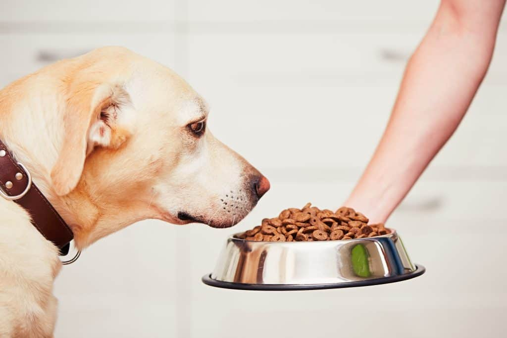 Side view of Labrador Retriever looking at kibbles in dog bowl