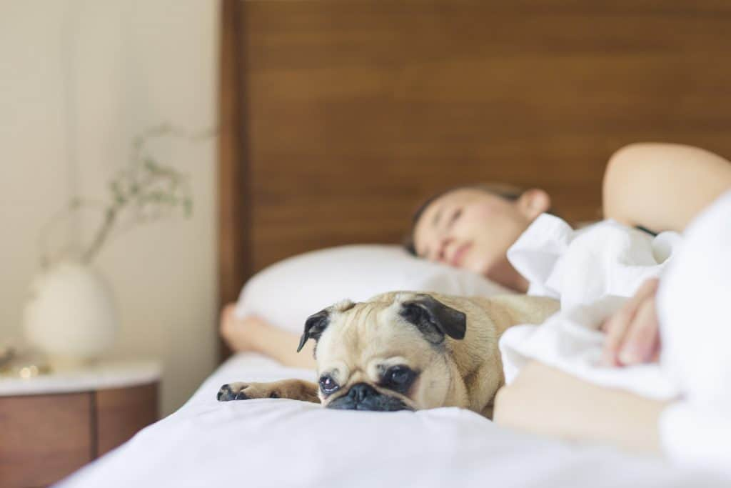 Pug lying on bed while owner is sleeping