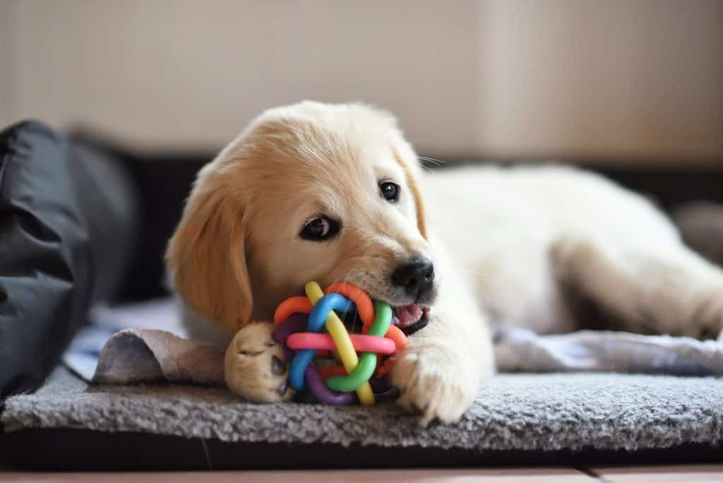 Golden retriever puppy lying on carpet and playing with toy