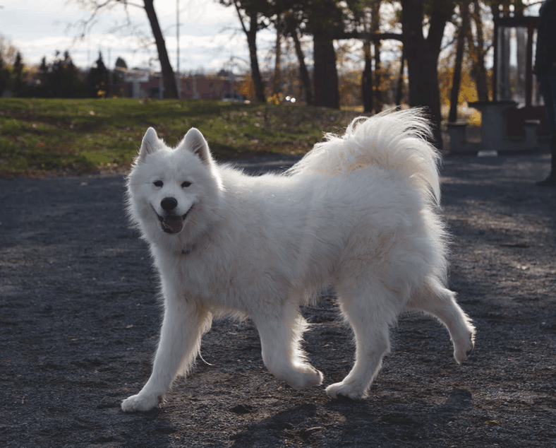 Many people have the mistaken belief that a Samoyed's fur coat should be shaved in warmer climates to help it cope with the heat. However, removing the double coat of fur can be unsafe as it loses the ability to regulate its own body temperature. This also makes it more prone for the dog to suffer from overheating. Moreover, in some cases, the coat of fur may not grow back correctly once it's shaved off.