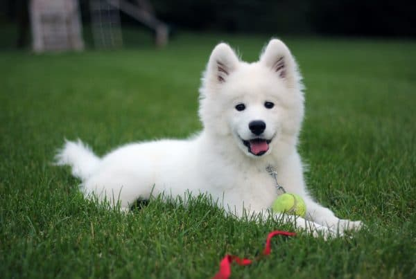 Vet Answers 7 FAQs about owning a Samoyed in Singapore