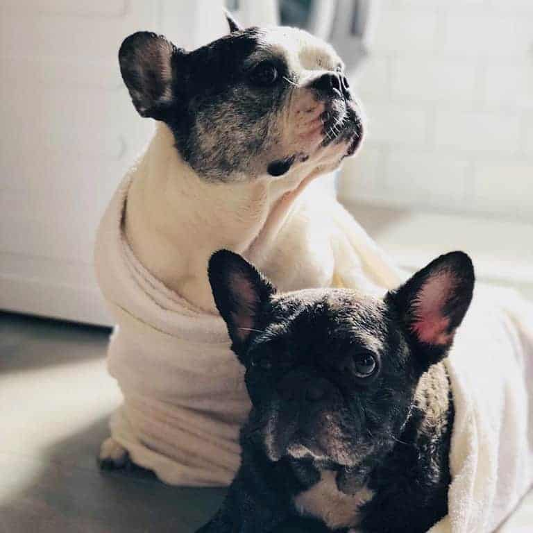 Two dogs wrapped in towels
