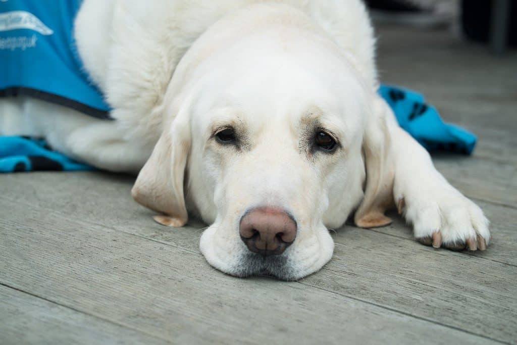 Dog with white fur lying down on wooden floor