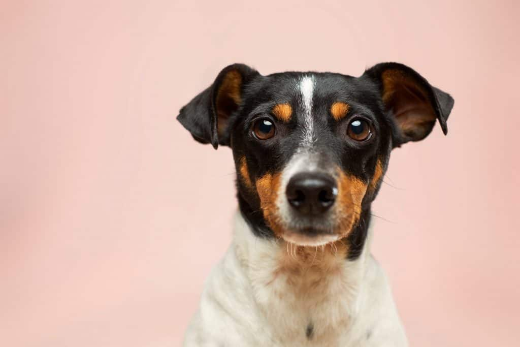 Dog standing in front of a pink background