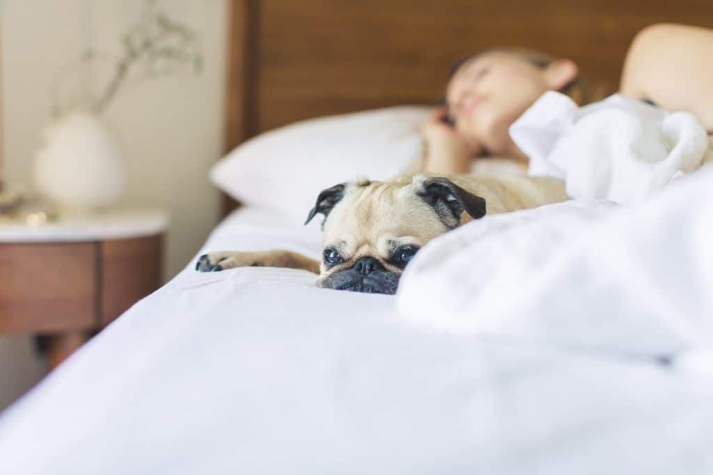 Pug lying on a bed with its owner