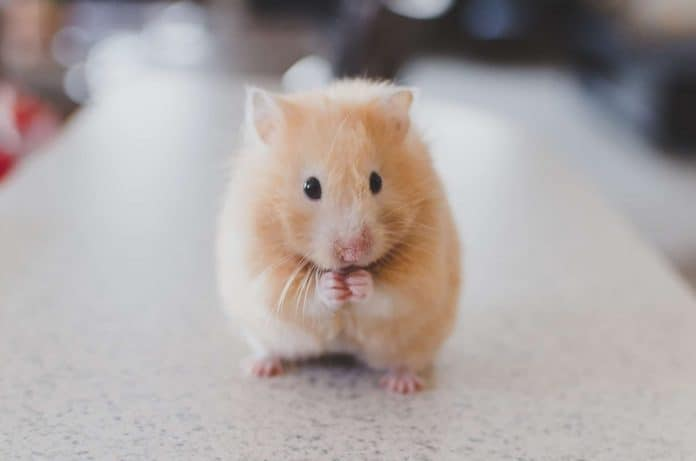 Hamster on a table