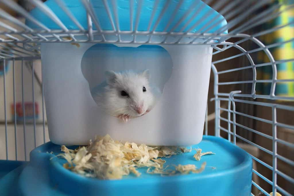 Hamster inside its cage