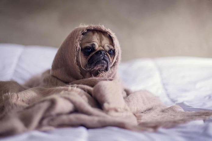 Pug wrapped in a blanket