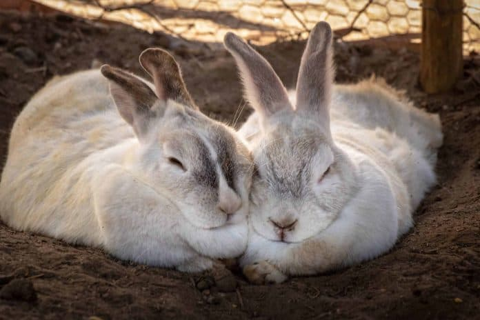 Rabbits lying down together