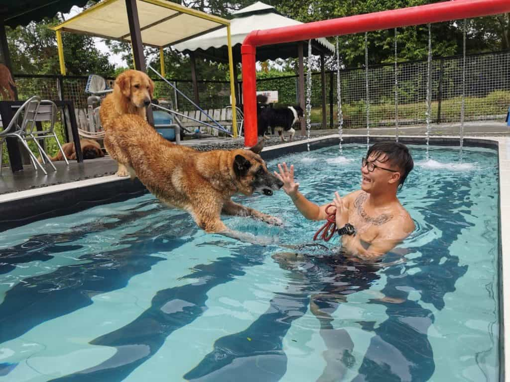 Dog jumping into the pool where owner is