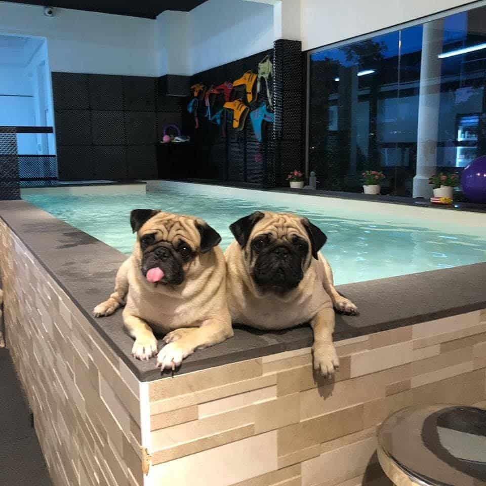 2 dogs sitting at the corner of an indoor pool