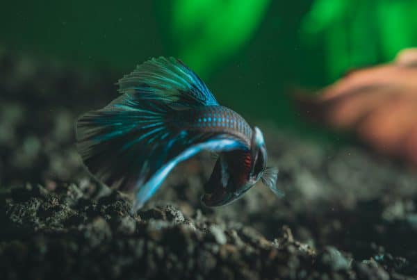 Buying and Caring For a Betta Fish in Singapore [Quick Facts]