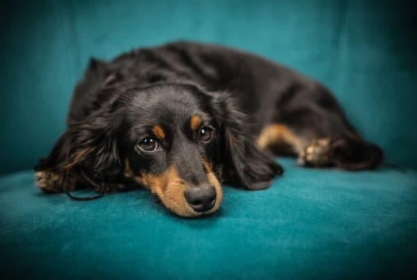 Dachshund lying on a couch