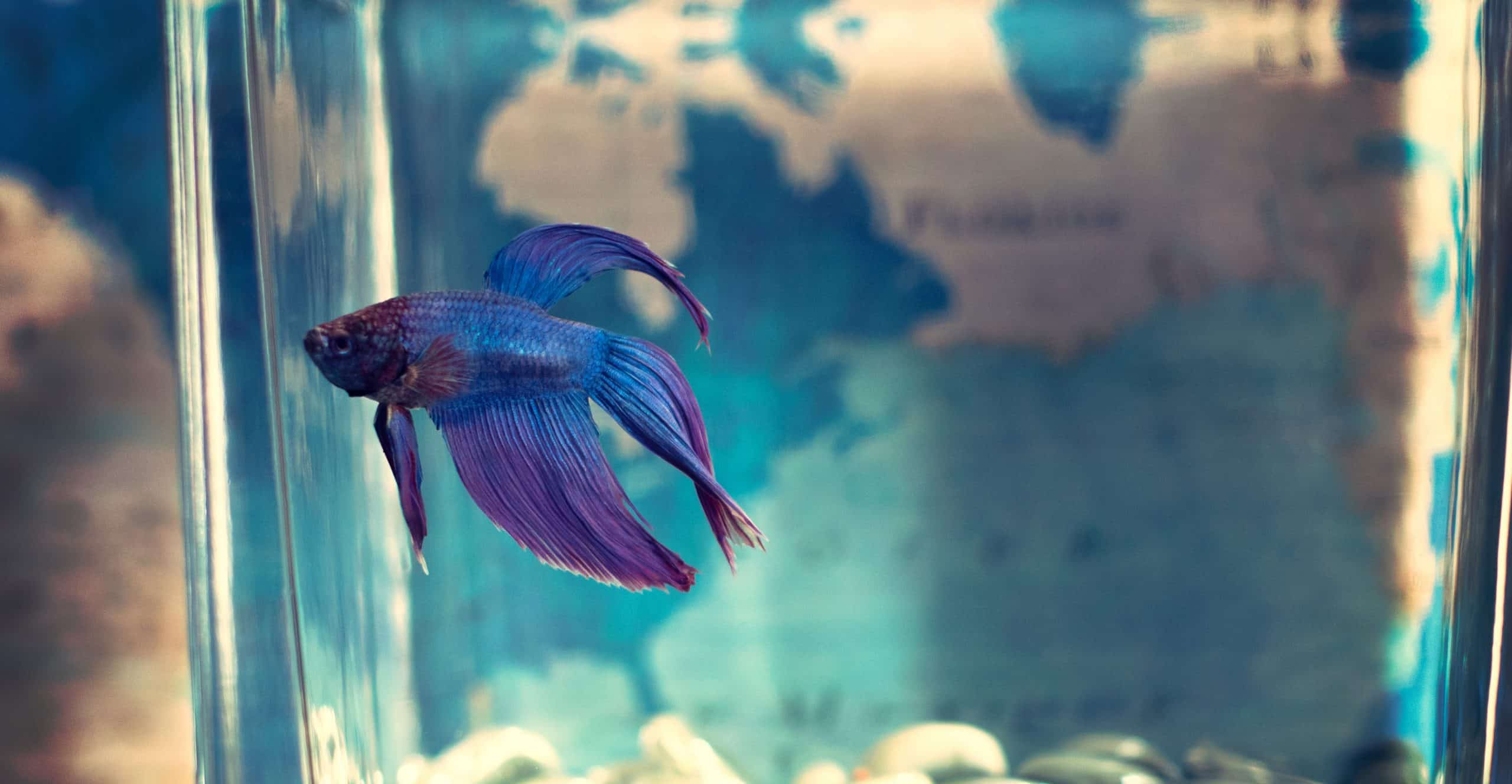 Top 13 Beautiful Types of Betta Fish Categorised by Tail [With Pictures]