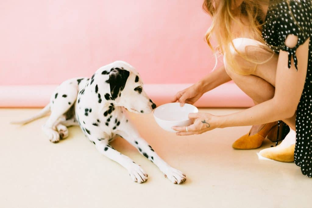 Lady feeding dog food in a bowl to Dalmatian