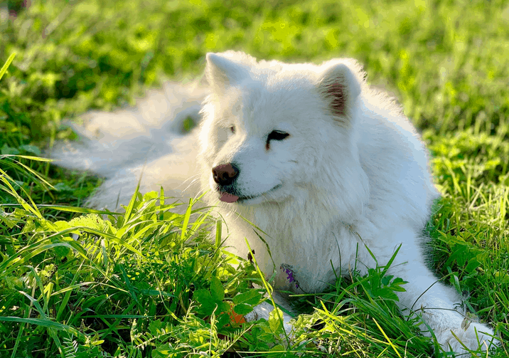 samoyed lying on a patch of grass