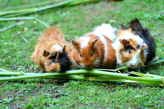 Group of guinea pigs eating grass