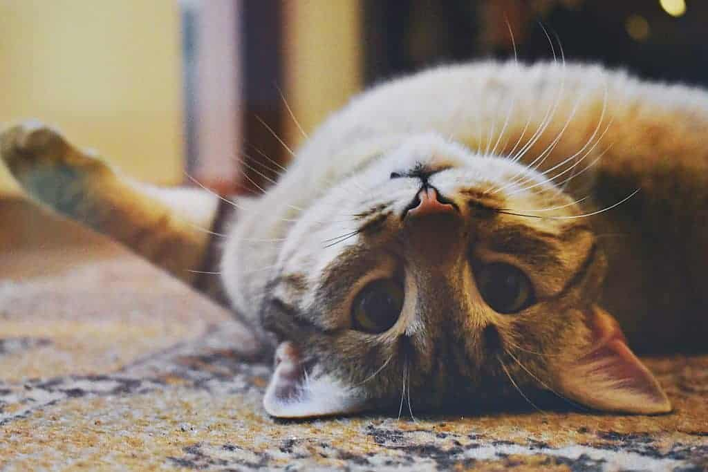 Cat lying on its back with eyes opened