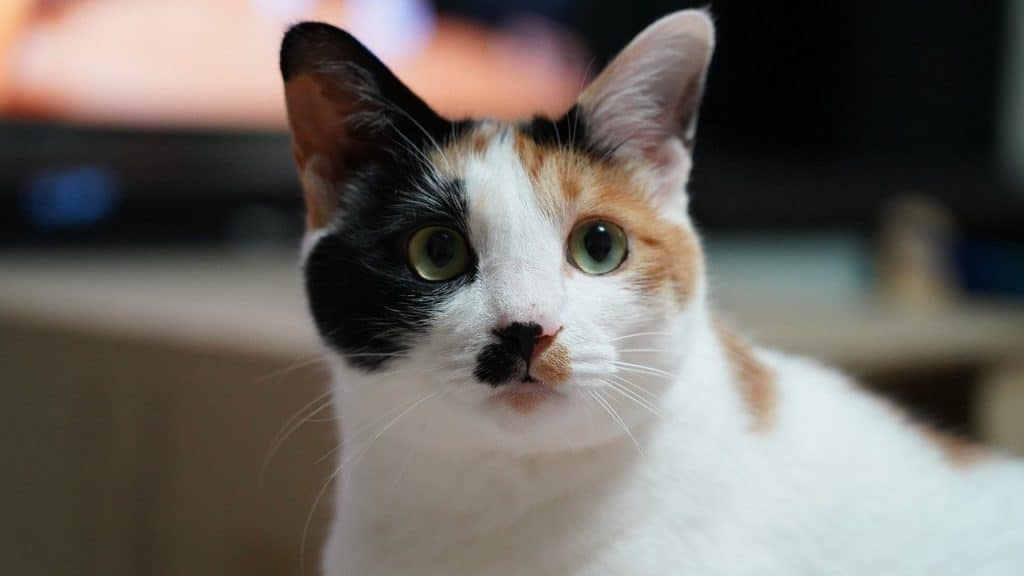 Cat with black and brown patches