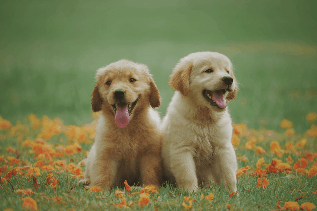 Two golden retriever puppies with tongues out in a field of flowers