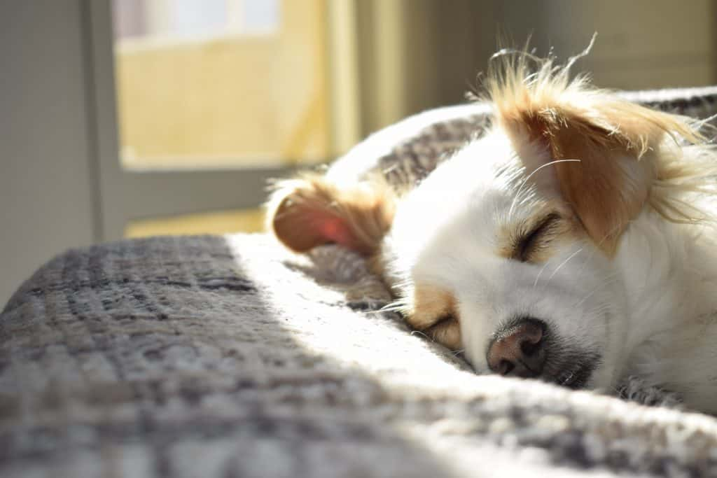 White dog with brown ears lying on a blanket next to a window with eyes closed
