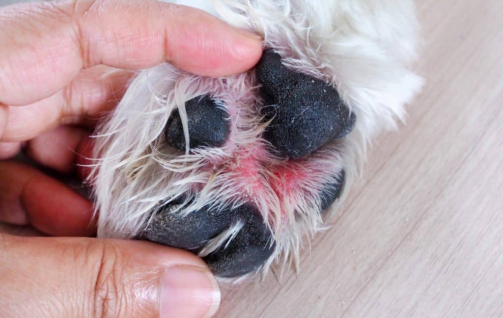 Dog paw with red patches