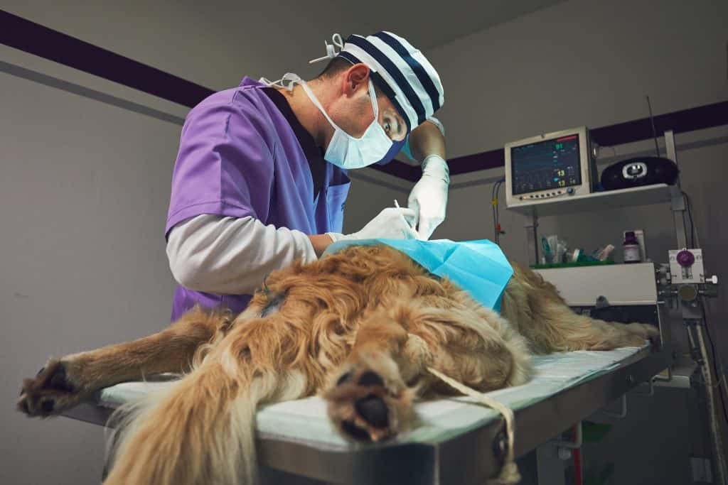 Doctor in purple conducting surgery on a dog