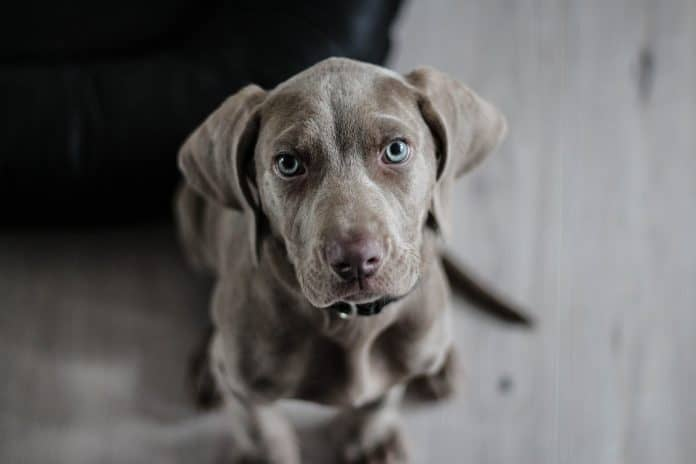 Grey dog with blue eyes looking up into the camera